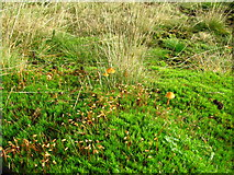 SK1879 : New growth improving the moor by Graham Cole