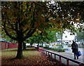 SO9797 : Maple trees by Owen Road in Willenhall, Walsall by Roger  Kidd
