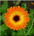 SO6424 : Calendula officinalis; Pot or English Marigold by Jonathan Billinger