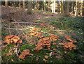 SX8074 : Fungi, Rora Wood by Derek Harper