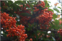 SJ3999 : Cobweb and berries, Melling by Mike Pennington