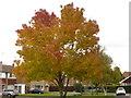 TF0820 : Autumn colour in the suburbs by Bob Harvey