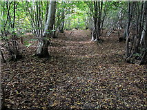 TR1858 : Extensive Coppicing in Moat Rough by Chris Heaton
