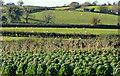 J4767 : Cabbages and sheep near Comber by Albert Bridge