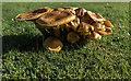 TF6928 : Honey Fungus, Sandringham House Park, Norfolk by Christine Matthews