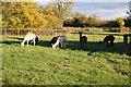 SP5625 : Grazing llamas by Roger Templeman