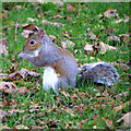 J5081 : Grey Squirrel, Bangor by Rossographer