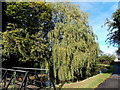 ST2996 : Canalside weeping willow, Pontnewydd,Cwmbran by Jaggery