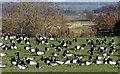 NY0466 : Barnacle geese at Caerlaverock by Walter Baxter
