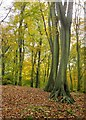 SU8286 : Beech woodland, Hollowhill Wood, November (1) by Stefan Czapski