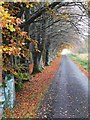 NY7888 : Autumn beech trees by Sidwood road by Andrew Curtis