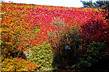 L9984 : Westport - New(port) Road - Hotel Westport - Hotel Walls with Colourful Ivy by Joseph Mischyshyn