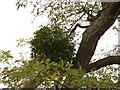 TF0920 : Urban Mistletoe (Viscum album) by Bob Harvey