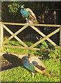 SX8274 : Peacocks, Trago Mills by Derek Harper
