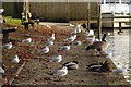 SU9876 : Water birds by the River Thames by Steve Daniels