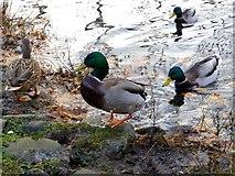 H4572 : Wild ducks, Omagh (1) by Kenneth  Allen