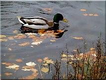 H4572 : Wild ducks, Omagh (4) by Kenneth  Allen
