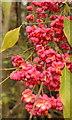SU7047 : Spindle berries by Hugh Chevallier