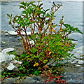 M2208 : Ballyvaghan Pier - Wild Plant, Stones & Water by Joseph Mischyshyn