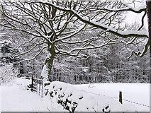 SK3463 : Marsh Green Kelstege, Beech trees in the snow by stuart dart