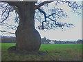 SD7038 : Bulbous oak tree near Winckley Hall Farm by Karl and Ali