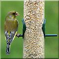 NT2274 : Greenfinch (Chloris chloris), Craigleith, Edinburgh by Mike Pennington