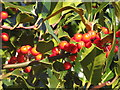 SK2398 : Holly with red berries by Dave Pickersgill