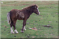 SO1544 : Welsh Pony Foal Begwyns Roundabout by Christine Matthews