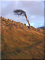 SD4574 : Windswept tree, Silverdale coast by Karl and Ali