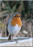 NU1341 : Holy Island robin by Pauline E
