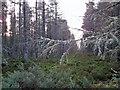 NH6860 : Lichen on larch by Richard Dorrell
