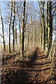 SP1220 : Beech trees on the Cotswold Way by Philip Halling