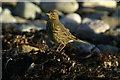 HP5901 : Rock Pipit (Anthus petrosus), Ayre of Uyeasound by Mike Pennington