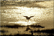 HP6312 : Redshank (Tringa totanus) into the sun on the Haroldswick pool by Mike Pennington