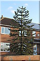 TF1653 : Monkey Puzzle Tree at Poplar Farm by J.Hannan-Briggs
