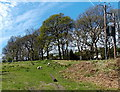 SO6006 : Grazing sheep between Bowson Road and Bowson Square in Bream by Jaggery