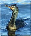 NJ2370 : Shag (Phalacrocorax aristotelis) by Anne Burgess