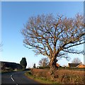 SO8333 : Bare tree by the A438 in Downend  by David Smith