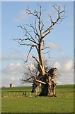 SO8732 : Ancient old oak tree by Philip Halling