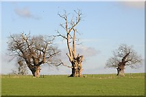 SO8732 : Ancient oak trees by Philip Halling