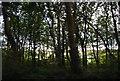 SR9699 : Three Corner Plantation by N Chadwick