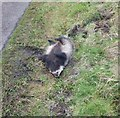 NU0633 : Dead badger on road by Dancing Green Hill by Russel Wills