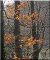 SX8754 : Beech leaves, Greenway by Derek Harper