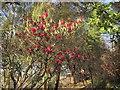 SX8754 : Rhododendron, Greenway by Derek Harper