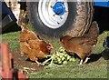 SX8854 : Hens, Higher Greenway by Derek Harper