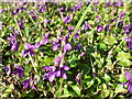 ST5967 : Whitchurch violets by Neil Owen