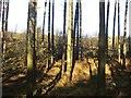 SJ9715 : Woodland, Pottal Slade by Richard Webb
