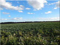TM1440 : Field in between Thorington Hall and Spinney Wood by Hamish Griffin
