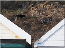 SZ1191 : Boscombe: two goats between two beach huts by Chris Downer