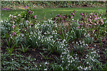 TQ3499 : Snowdrops (gallanthus) and Hellebores, Myddelton House, Enfield, Middlesex by Christine Matthews